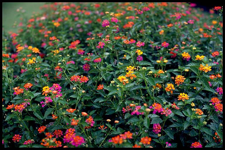 Lantana Camara Plant