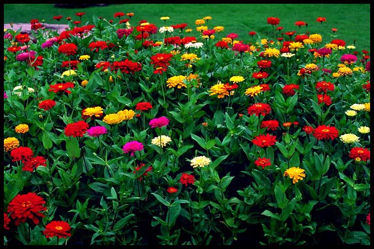 This flower (below) look like Zinnia, also ...